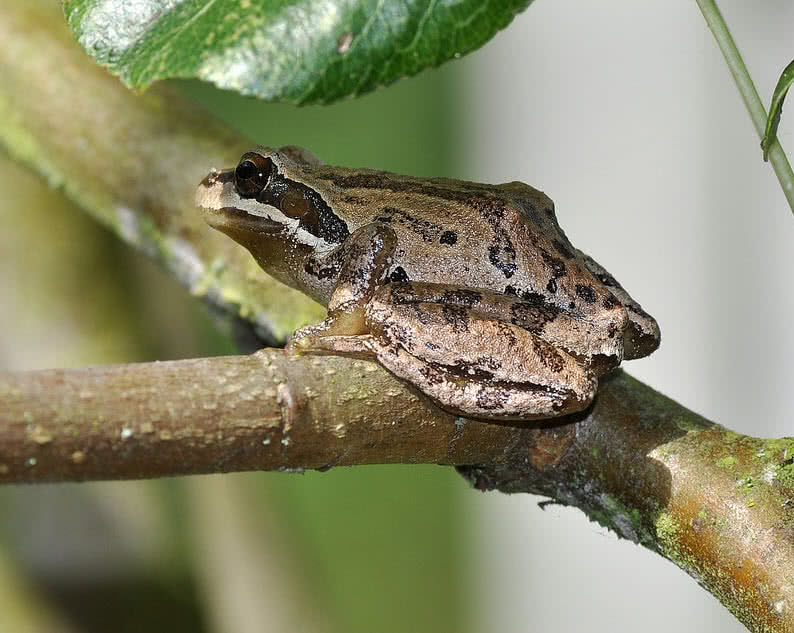 Pacific Tree Frog Mating Season