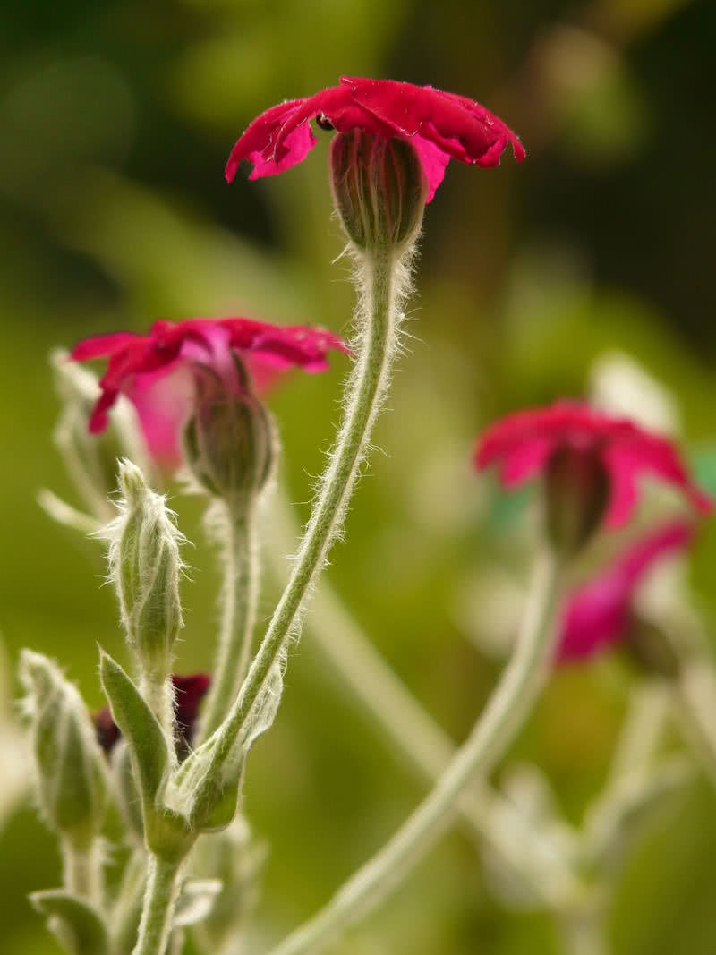 10 incredibly rare flowers you have probably never seen the campion or silene tomentosa can only be found in the british territory called gibraltar its a weak fragrant evening blooming flower with a short life izmirmasajfo