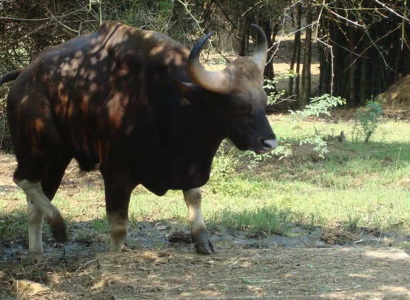 asian gaur