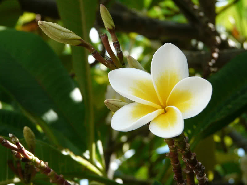 Frangipani is a tropical flowering plant native to South America, Mexico and Pacific and Caribbean Islands. Frangipani is also the national flower of ...
