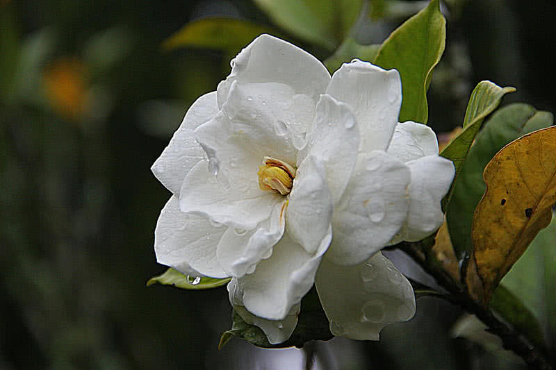 Top 10 most pleasant smelling flowers the mysterious world gardenia is a waxy smelling flower native to tropical regions of south asia australia and africa gardenia is a member of coffee family mightylinksfo