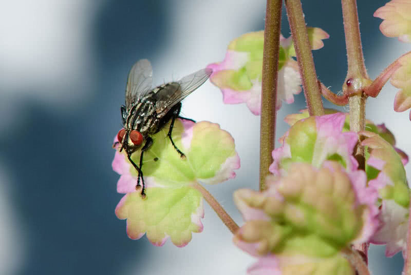 housefly