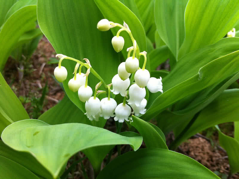 Top 10 most pleasant smelling flowers the mysterious world lily of the valley mightylinksfo