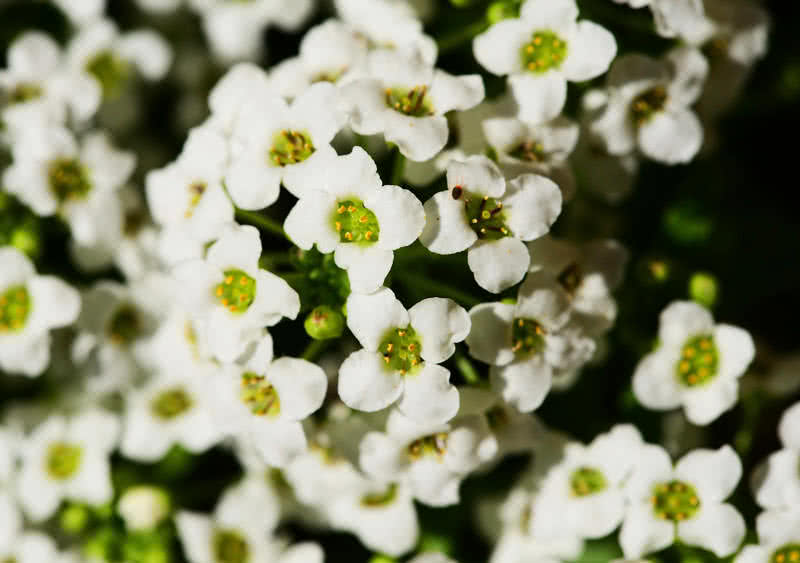 sweet alyssum flower