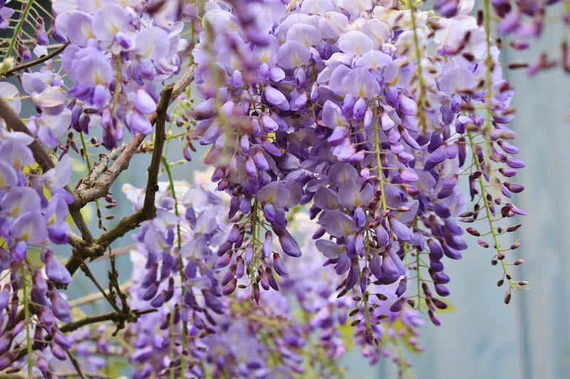 Top 10 most pleasant smelling flowers the mysterious world wisteria is a climbing flowering plant grows mainly in in us korea japan and china this stunning flower opens in purple pink and white colors mightylinksfo
