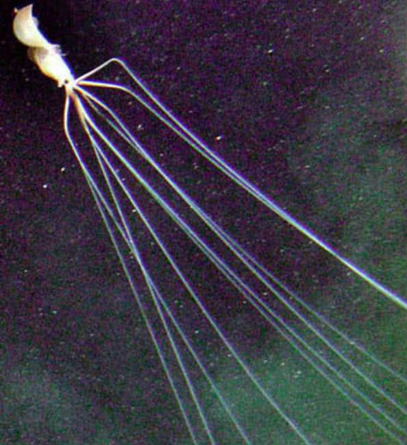 Bigfin squid