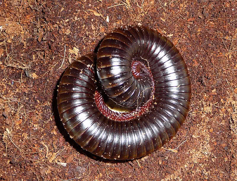 Giant African Millipedes