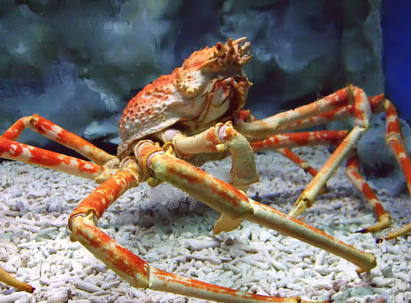 japanese spider crab