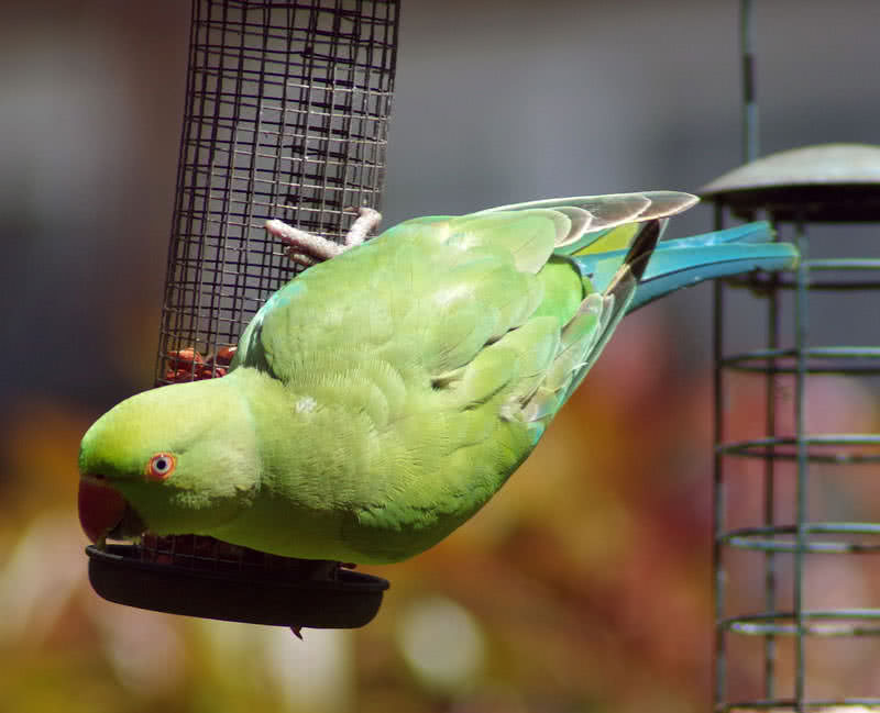 indian ring parakeet