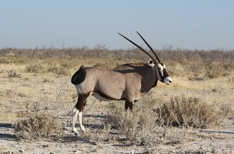 Pictures of african animals with horns