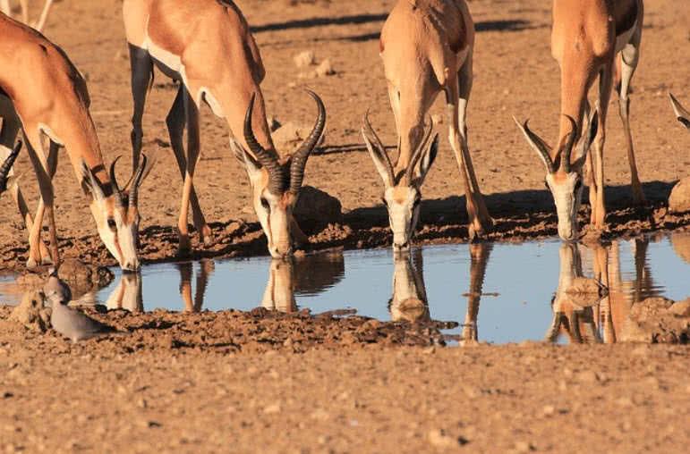 Springbok Deer