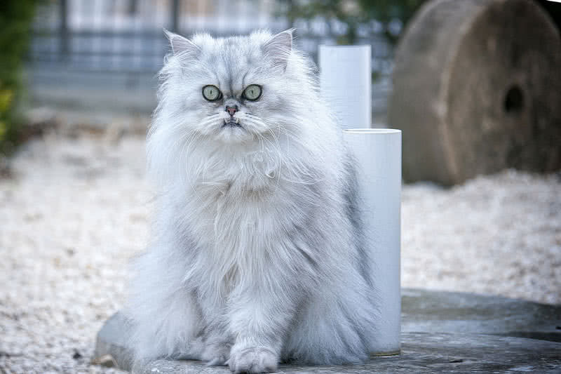 Top 10 Most Beautiful Cat Breeds In The World - The