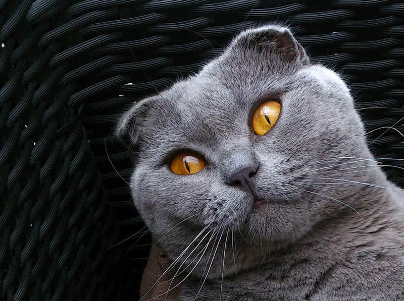 Top 10 Most Beautiful Cat Breeds In The World - The Mysterious World