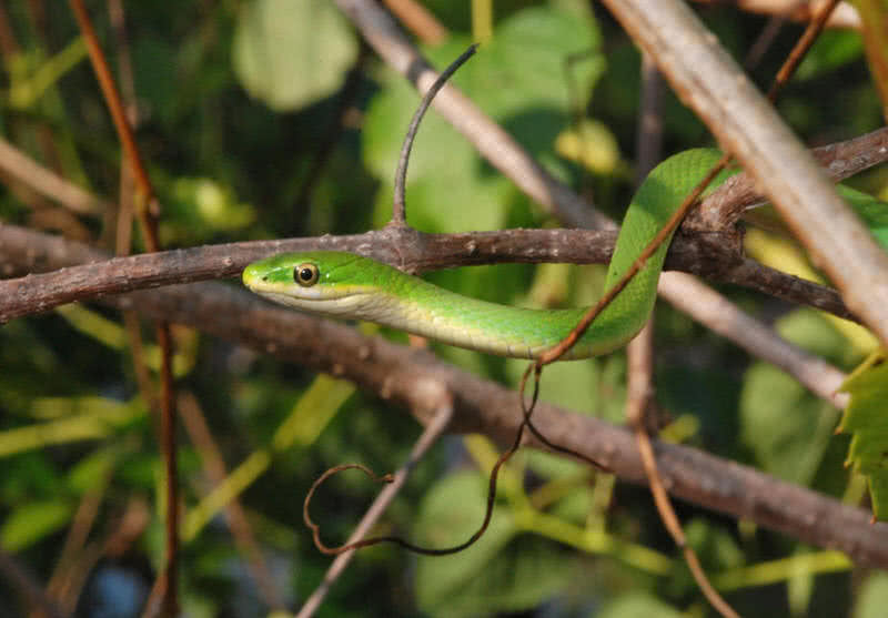 [Image: rough-green-snake.jpg]