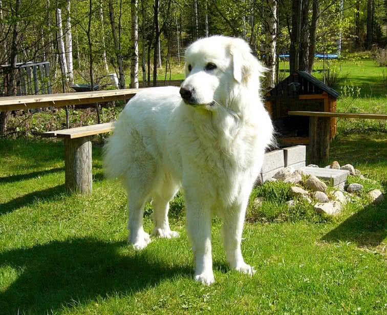 Top 10 Largest Dog Breeds In The World - The Mysterious World