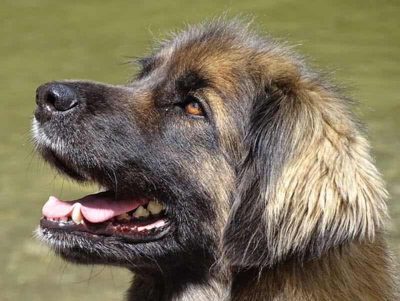 Top 10 Largest Dog Breeds In The World The Mysterious World