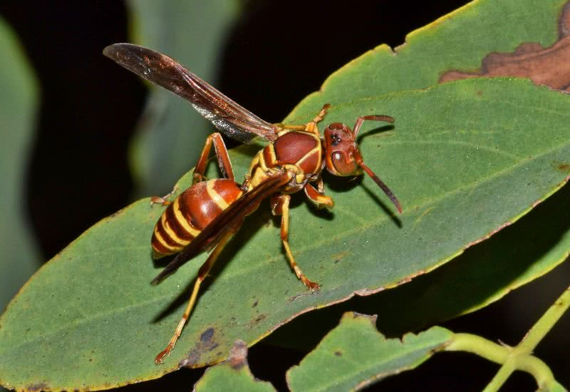 executioner wasp in texas