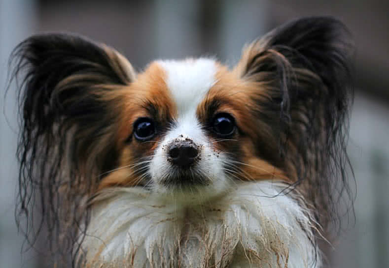 Top 10 Smallest Dog Breeds In The World The Mysterious World