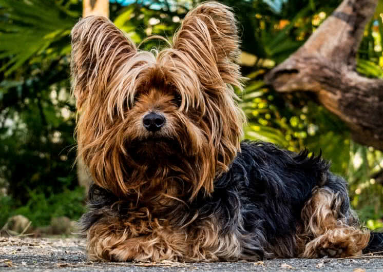 Top 10 Smallest Dog Breeds In The World Mysterious