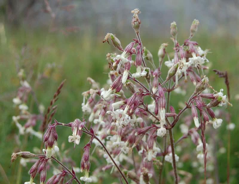 nottingham catchfly flower
