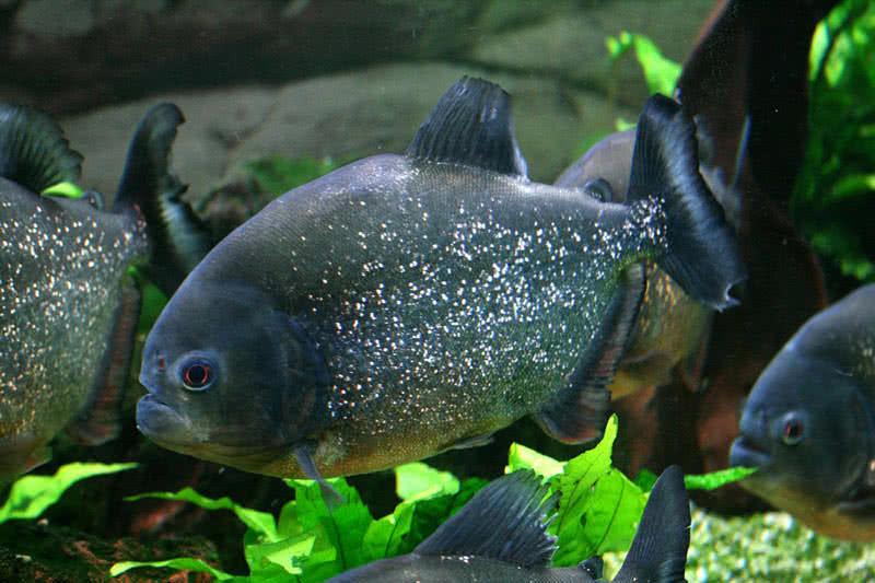piranha-fish