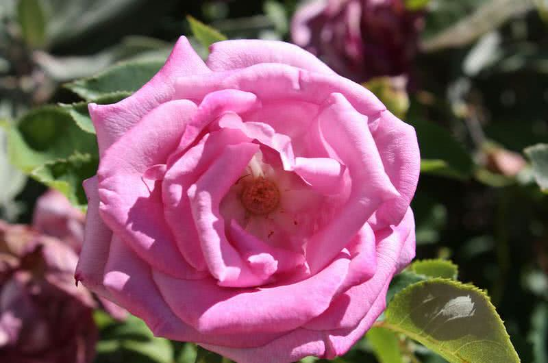 fragrant plum rose