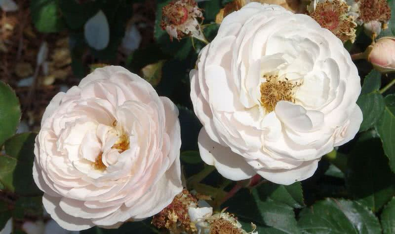 good fragrant heritage rose