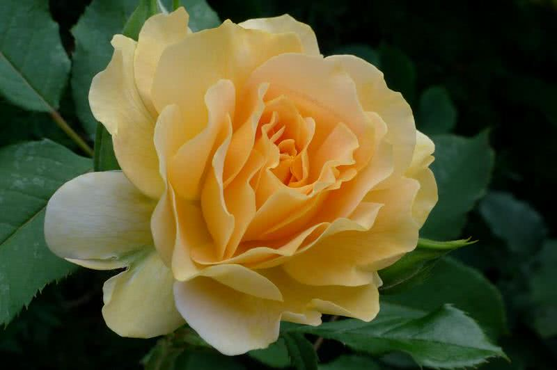 10 Intensely Fragrant Roses To Plant In Your Garden