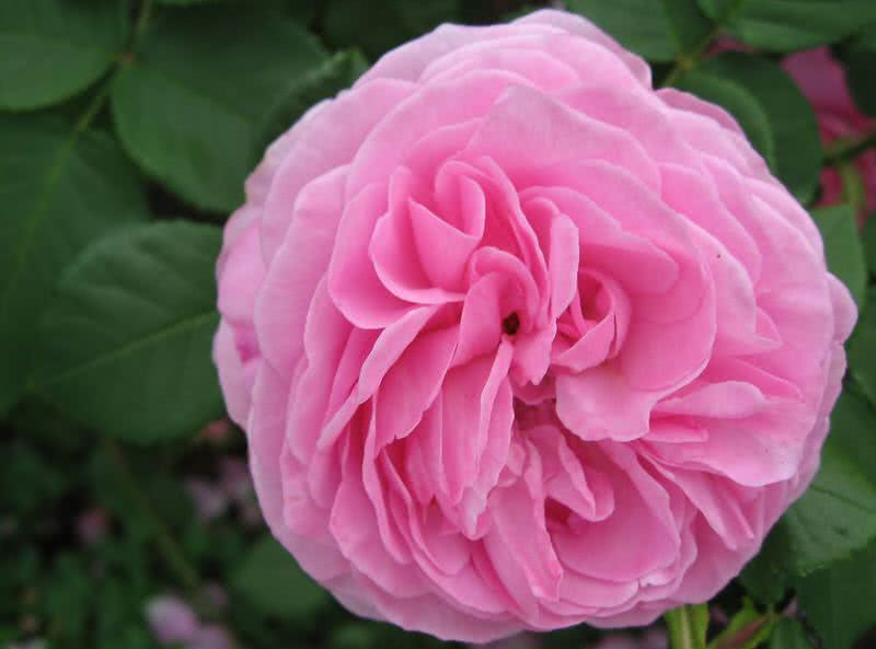 strong fragrant louise odier rose