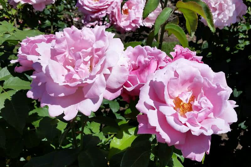 sweet smelling memorial day rose