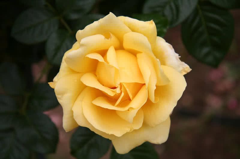 michalangelo rose