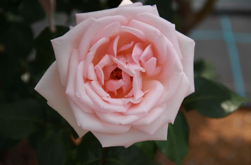 intense smelling royal highness rose