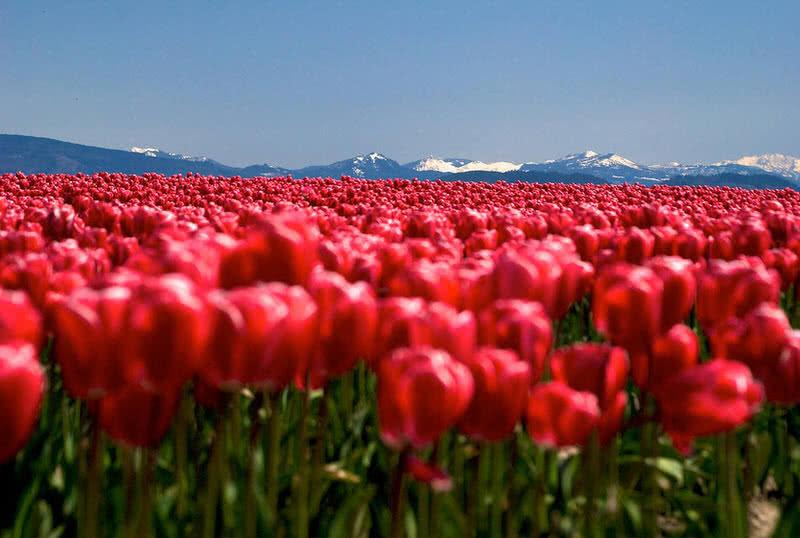 skagit tulip field