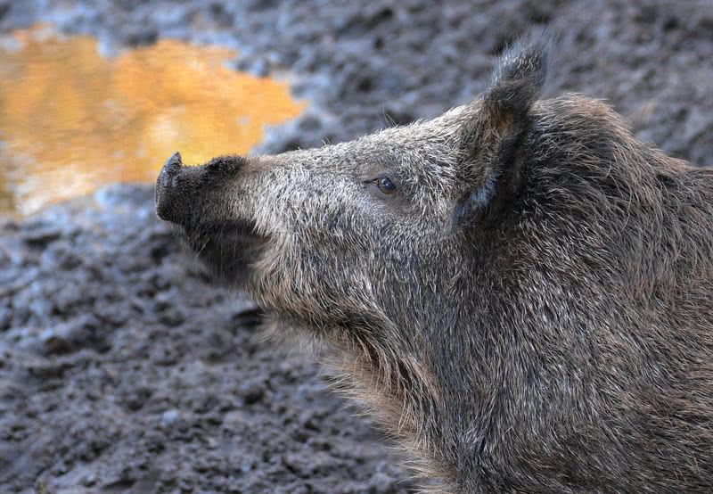 wild boar in the himalayas