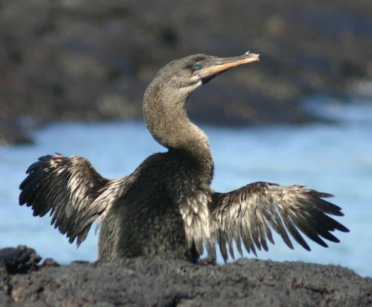 flightles cormorant