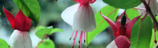 most beautiful flowers for hanging baskets