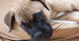shortest living dog breeds
