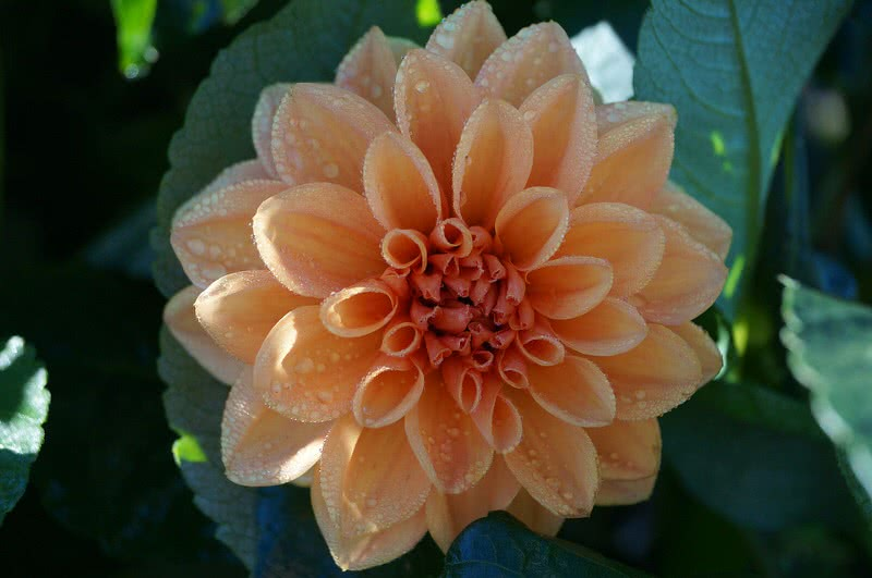 Top 10 most beautiful flowers in the world the mysterious world dahlia is always been so special among flower lover the reason is its great variety in size and color there are 42 different species of dahlias in the mightylinksfo