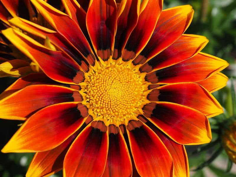Top 10 most beautiful flowers in the world the mysterious world gazania is a beautiful daisy look like flower native to south africa it is also known as treasure flower convincingly gazania has pretty mightylinksfo