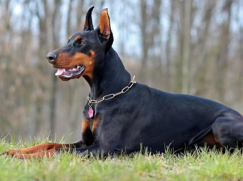 Top 10 Best Guard Dogs For Security The Mysterious World