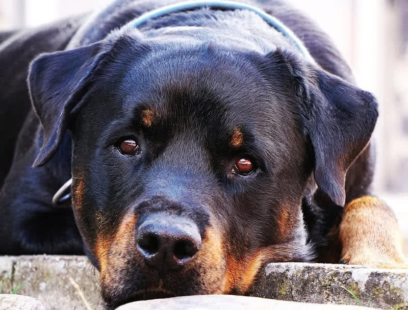 What Dogs Make The Best Guard Dogs