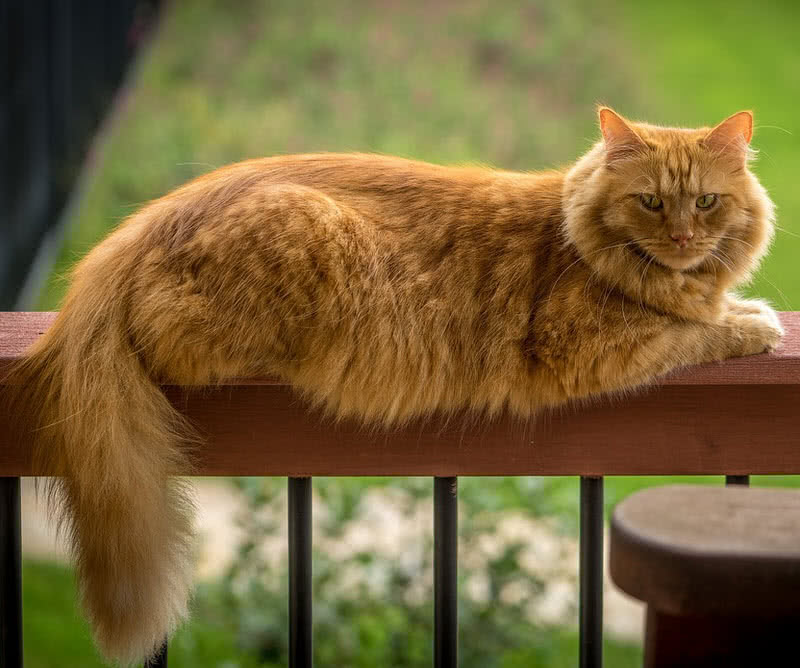 largest cat breeds