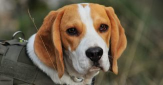 Dog Breeds With Incredible Sense Of Smell