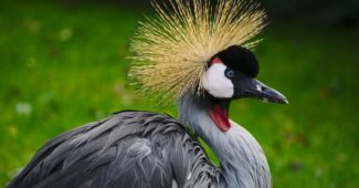 birds with most beautiful crests