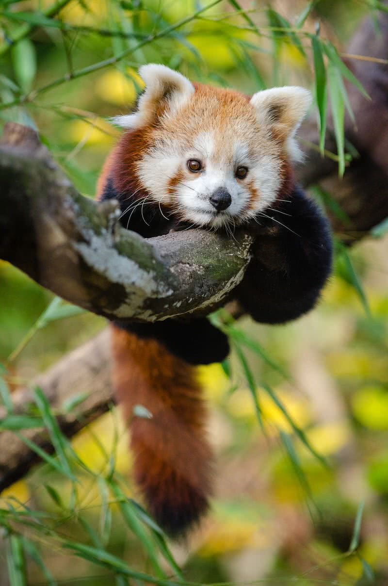 panda baby cute animals cutest pandas animal forest adorable creature temperate pexels habitat rainforest flickr