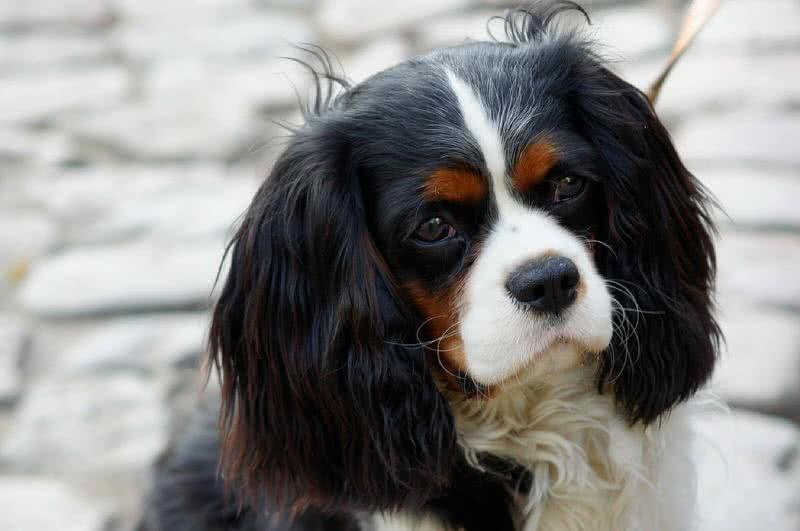 Cavalier-dog