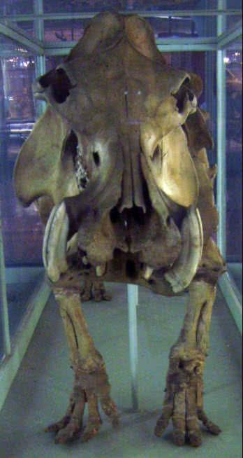 madagascar hippo