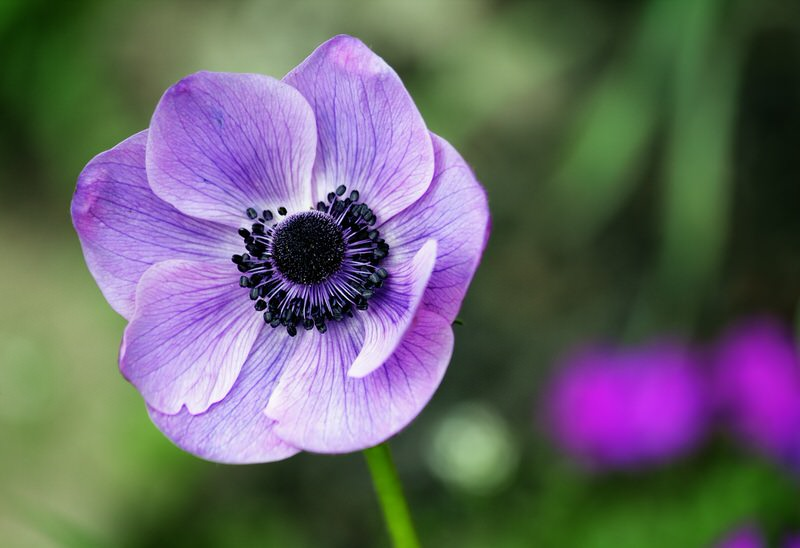 Anemone Flower Garden