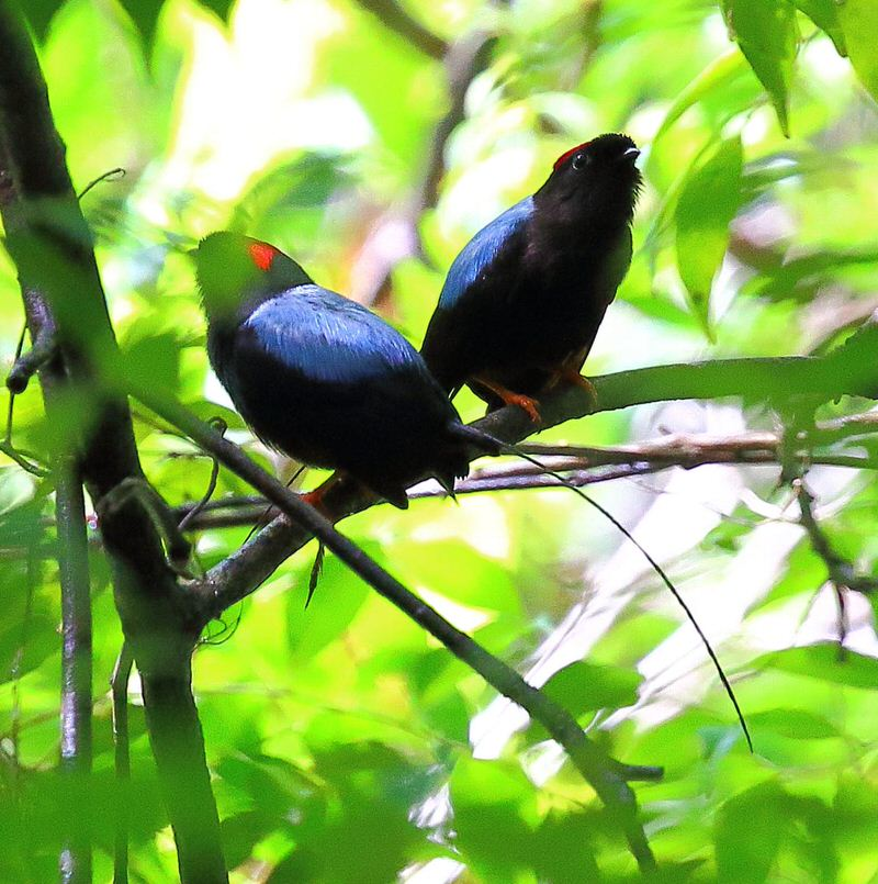 Manakin birds