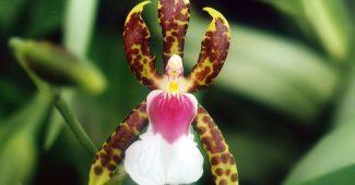 Caladenia Melanema